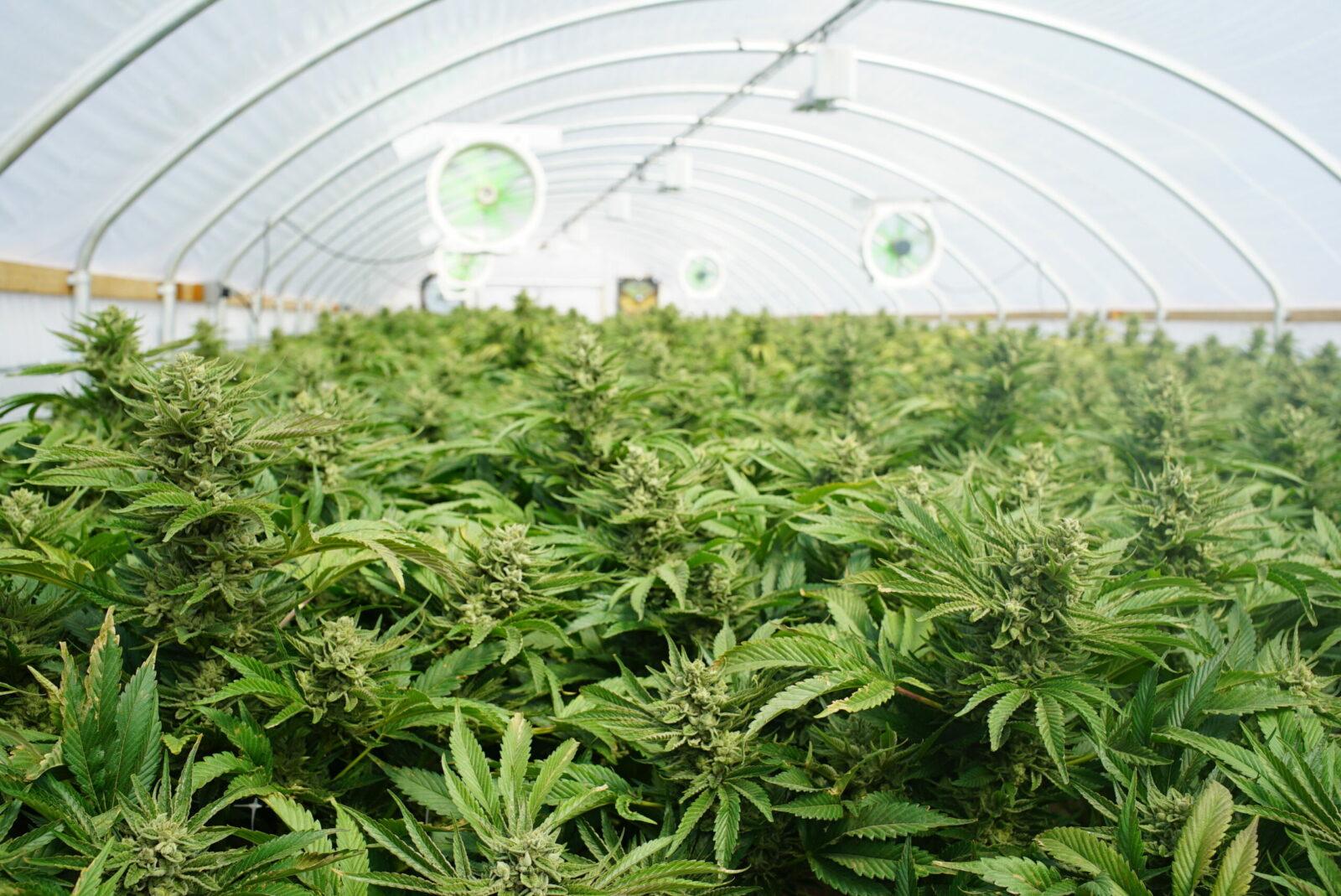 CBD pěstované v biokvalitě